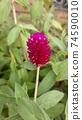 붉은 보라색 꽃 천일홍 74590010