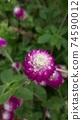 붉은 보라색 꽃 천일홍 74590012
