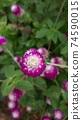 붉은 보라색 꽃 천일홍 74590015