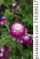 붉은 보라색 꽃 천일홍 74590017