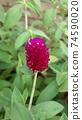 붉은 보라색 꽃 천일홍 74590020