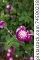 붉은 보라색 꽃 천일홍 74590238
