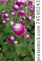 붉은 보라색 꽃 천일홍 74590243