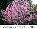 在沖繩早春開花的猩紅色櫻花在沖繩公園種下的猩紅色櫻花開始開花,在溫暖的春天裡您可以看到櫻花。 74592043