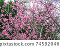在沖繩早春開花的猩紅色櫻花在沖繩公園種下的猩紅色櫻花開始開花,在溫暖的春天裡您可以看到櫻花。 74592046