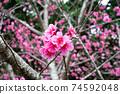 在沖繩早春開花的猩紅色櫻花在沖繩公園種下的猩紅色櫻花開始開花,在溫暖的春天裡您可以看到櫻花。 74592048