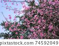 在沖繩早春開花的猩紅色櫻花在沖繩公園種下的猩紅色櫻花開始開花,在溫暖的春天裡您可以看到櫻花。 74592049