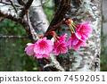 在沖繩早春開花的猩紅色櫻花在沖繩公園種下的猩紅色櫻花開始開花,在溫暖的春天裡您可以看到櫻花。 74592051