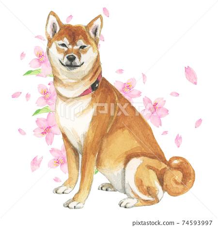 笑臉柴犬和櫻花手繪水彩 74593997