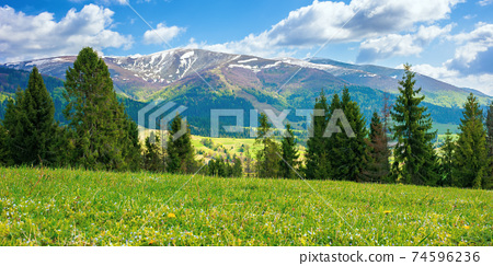 mountain landscape on a sunny day. beautiful alpine countryside scenery with spruce trees. grassy meadow on the hill rolling down in to the distant valley. clouds on the blue sky 74596236