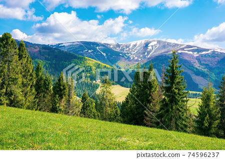 mountain landscape on a sunny day. beautiful alpine countryside scenery with spruce trees. grassy meadow on the hill rolling down in to the distant valley. clouds on the blue sky 74596237