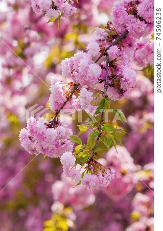 blooming pink flowers of sakura in ukraine. cherry blossom season in springtime. close up floral background 74596238