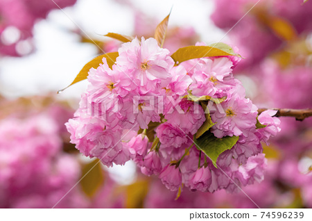 blooming pink flowers of sakura in ukraine. cherry blossom season in springtime. close up floral background 74596239