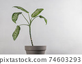Dieffenbachia in a pot on gray background. Green leaves in minimalistic interior 74603293