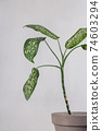 Dieffenbachia in a pot on gray background. Green leaves in minimalistic interior 74603294