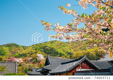 Gakwonsa Temple with cherry blossoms in Cheonan, Korea 74603711