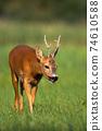 Roe deer approaching on grassland in summer nature 74610588
