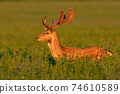 Fallow deer standing in clover in summertime sunset 74610589