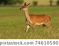 Female red deer walking on a grassy hay field on a sunny day in summer nature 74610590