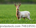 Albino roe deer buck staring into camera and standing in green grass on a field 74610591
