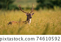 Fallow deer stag standing in long grass in spring sunlight 74610592