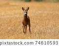 Roe deer approaching on stubble field in summertime nature 74610593