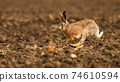 Brown hare sprinting on field in autumn sunlight. 74610594
