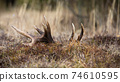 Large deer shed with white points lying on the ground in mountains 74610595