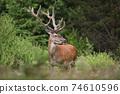 Red deer with huge anlters standing in bush in summer. 74610596