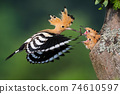 Eurasian hoopoe feeding chick in tree in summer nature. 74610597