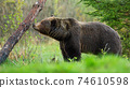 Large brown bear sniffing a tree and marking its territory in spring forest. 74610598
