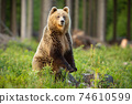 Brown bear standing upright in forest in summer sun 74610599