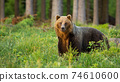 Brown bear standing in forest inside summer nature in sunlight 74610600