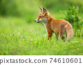 Young red fox standing on meadow in summer sunlight 74610601