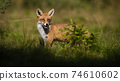 Red fox hiding behind small green tree on a glade in summer. 74610602