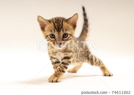 孟加拉小貓 74611802