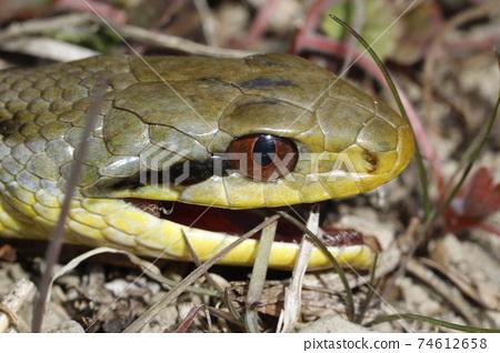 冬眠後的條紋蛇 74612658