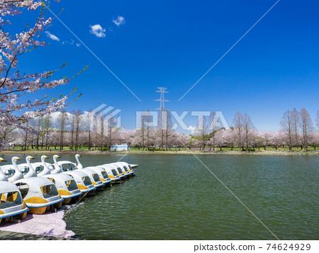 櫻花盛開的川越水上公園 74624929