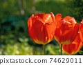 red tulips blooming in the garden. beautiful nature background. easter holidays concept 74629011