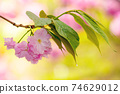 pink blossoming sakura tree. blooming cherry flowers on the branch in springtime. close up botanical background 74629012