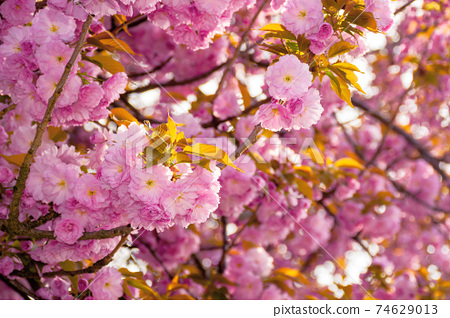 pink blossoming sakura tree. blooming cherry flowers on the branch in springtime. close up botanical background 74629013