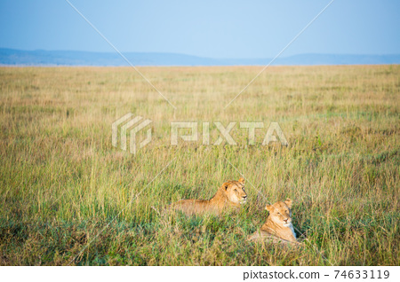 야생의 사자 (아프리카) 74633119