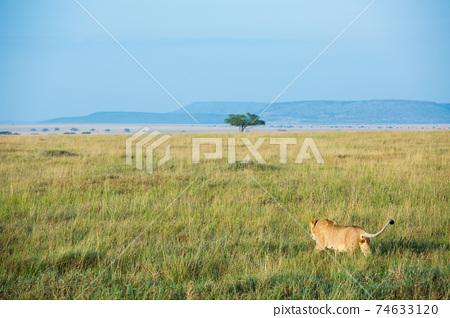 Wild lion (Africa) 74633120