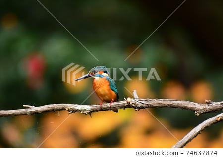 翠鳥棲息在水的一棵樹的樹枝上 74637874