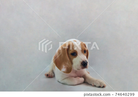 studio portrait of little purebred Beagle puppy dog pet with smiling face; funny facial expression 74640299