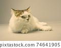 Studio Shot Of Persian Cat Against White Background 74641905