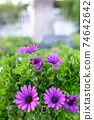 Beautiful Violette Marigold flowers outdoors in nature 74642642
