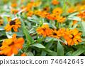 Beautiful Orange Marigolds flowers outdoors in nature 74642645