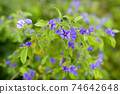 Beautiful violette flowers growing outdoors in nature 74642648