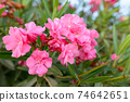 Closeup of beautiful pink flowers blooming outdoors in nature 74642651
